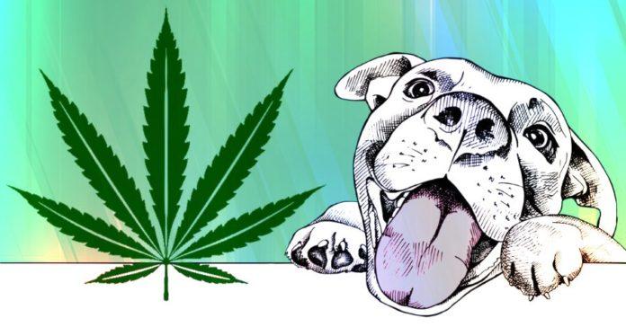 O uso da cannabis medicinal em cães - Caso Clínico